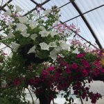 Hanging flower baskets for sale